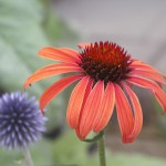 Orange Echinacea 'Arts Pride' with blue Echinops ritro.