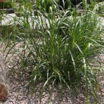 Silver Grass - Miscanthus sinensis 'Emmanuel Lepage'
