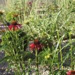 Echinacea purpurea and grasses