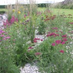 Grasses, Achillea, Loosestrife and Bees Balm in the long border