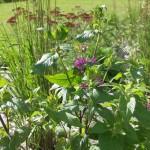Purple Monarda  'Prairienacht' -  Bees Balm