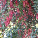 Red fruit clusters in early November cover Berberis chinensis