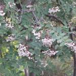 Delightful clusters of white berries on Sorbus hupehensis