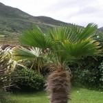 Trachycarpus fortuneii