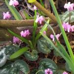 Delightful pink flowers of Cyclamen coum