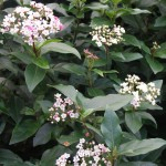 Posies of white flowers emerging from pink buds of Viburnum tinus 'Eve Price'