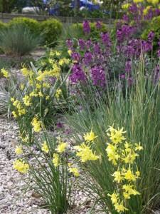 Drift of Narcissus 'Hawera' in gravel border