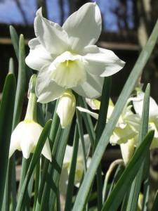 Elegant milky white flowers of Narcissus 'Thalia'