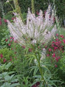 Veronicastrum sibericum attracting the bees,