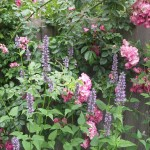 Agastache 'Blackadder' in front of pink Rosa 'American Pillar'