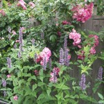 American pillar rose and agastache