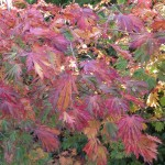 Autumn colour of Acer japonicum 'Aconitifolium'