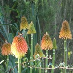 Kniphofia rooperi looks magical in autumn with its striking orange, red and yellow colours.