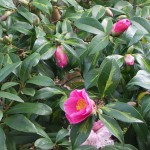 Deep pink single flowers on Camellia x williamsii 'Golden Spangles'