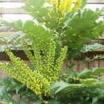 Yellow scented racemes of  Mahonia x media 'Charity'