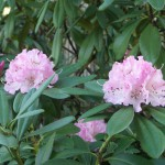 Heads of soft pink flowers on Christmas Rhododendron