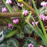 Delightful pink flowers of Cyclamen coum