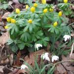 Eranthis hyemalis and Galanthus nivalis