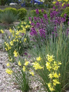 Drift of Narcissus 'Hawera' in gravel border