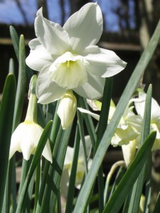 Elegant milky white flowers of Narcissus 'Thalia'