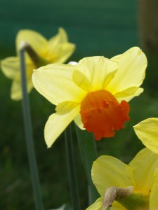 Cheerful orange cups of Narcissus 'Pimpernel'
