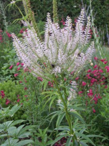 Veronicastrum sibericum attracting the bees,