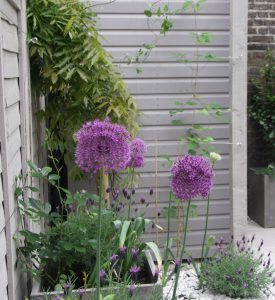Grey planters with lavenders and alliums