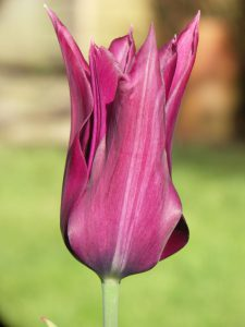 Lily flowered Tulipa 'Burgundy'