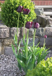 Almost black Queen of the Night elegant tulips