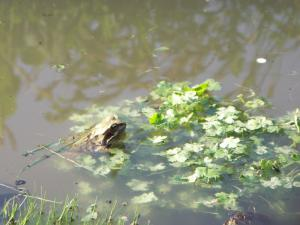 Finchley Garden - Frog enjoys the wildlife pond!
